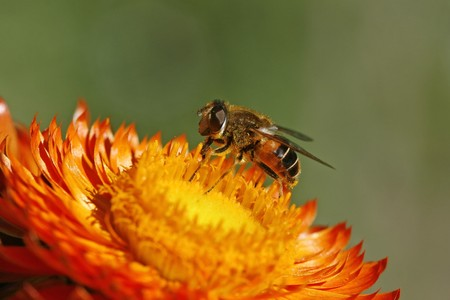 syrphid fly: Syrphid fly on Golden Everlasting flower Stock Photo