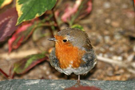 rubecula: Red Robin, Erithacus rubecula