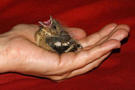 chaffinch: Fringilla coelebs, giovane fringuello in Germania