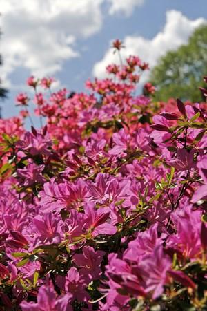 Azaleas in spring, Rhododendron