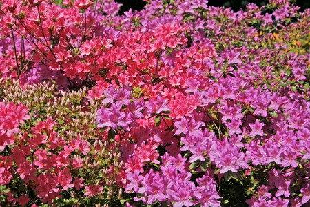 Rhododendron, Azaleas in spring, back-light photo