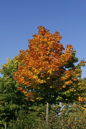 acer platanoides: Norway Maple (Acer platanoides) in autumn
