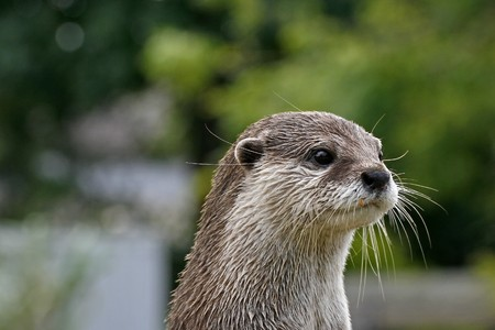aonyx: Aonyx cinerea, Asian Otter, Oriental Small-clawed Otter