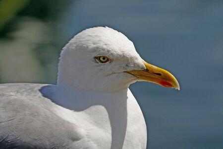 larus: Herring Gull, Larus argentatus
