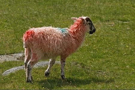 Rouge : mouton, Dartmoor, Devon, Cornouailles, en Angleterre du sud-ouest, UK, Europe Banque d'images - 7723277