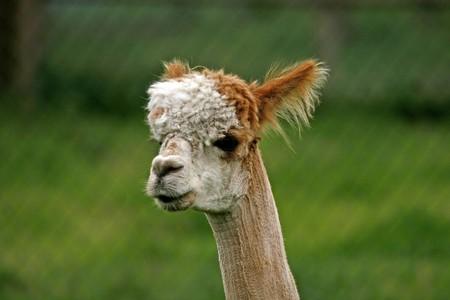 Pako, (Lama pacos), Alpaca (Vigugna pacos) photo
