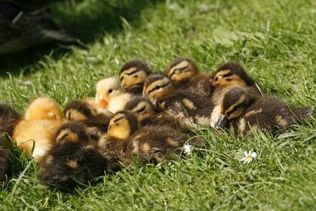 anas platyrhynchos: Duckling, Anas platyrhynchos - Mallard on a green meadow in spring