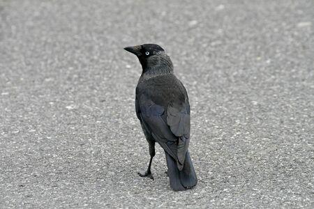 corvus: Corvus monedula, Jackdraw  Foto de archivo