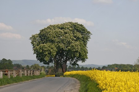 Horse Chestnut in may with street in Lower Saxony, Germany, Europe