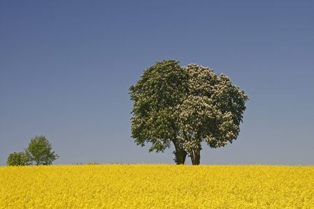 Horse Chestnut (Aesculus hippocastanum) with rape field in Lower Saxony, Germany photo