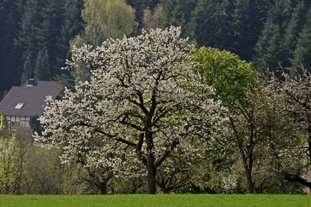 eppendorf: Cherry tree in spring, Eppendorf, Lower Saxony, Germany, Europe Stock Photo