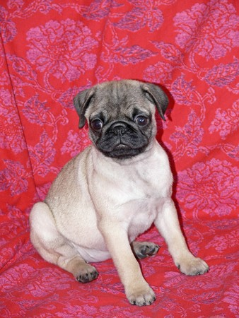 Little 10 weeks old female pug sitting on a sofa photo