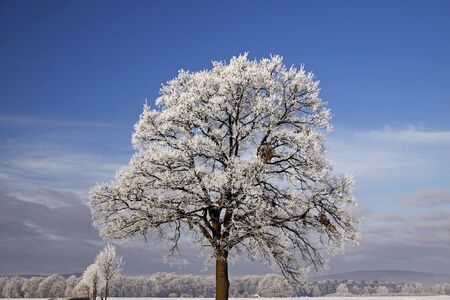 Tree with hoarfrost, Bad Laer, Osnabrueck country, Lower Saxony, Germany, germanEurope photo