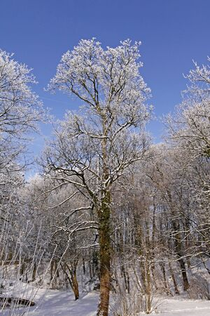 Tree with hoarfrost in winter, park in Bad Laer, Osnabruecker land, Lower Saxony, Germany, germanEurope Stock Photo - 7822567