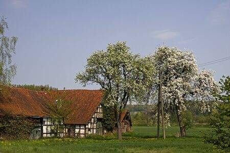 broadleaved tree: Half-timbered house with cherry blossom in spring in Hilter-Hankenberge, Osnabruecker Land, Lower Saxony, Germany, Europe