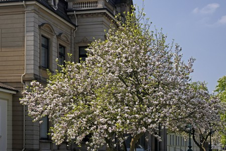 broadleaved tree: Health cure middle house with Magnolia, Magnolia tree in the spa park of Bad Rothenfelde, Osnabruecker land, Lower Saxony, Germany, Europe Stock Photo