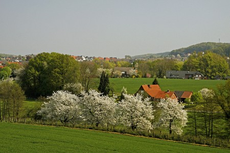 broadleaved tree: Spring landscape with cherry trees in April, Osnabruecker Land, Lower Saxony, Germany