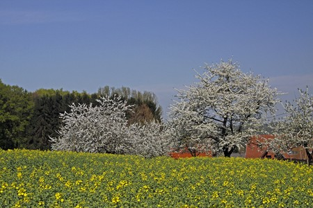 broadleaved tree: Spring landscape with cherry blossoms and farm in Hagen a.T.W., Osnabruecker Land, Lower Saxony, Germany, Europe