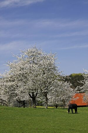 broadleaved tree: Spring landscape with cherry blossom and farm in Hagen a.T.W., Osnabruecker Land, Lower Saxony, Germany, Europe