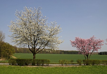 broadleaved tree: Cherry tree in spring, Bad Rothenfelde, Osnabruecker Land, Lower Saxony, Germany, Europe Stock Photo