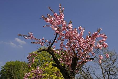 Japanese cherry tree in the spa park of Bad Rothenfelde, Osnabruecker Land, Lower Saxony, Germany, Europe Stock Photo - 7822550
