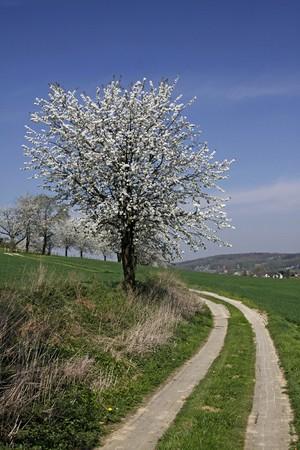 Footpath with cherry trees in Hagen, Lower Saxony, Germany, Europe Фото со стока