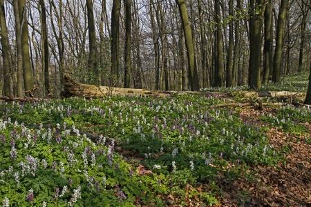 corydalis: Corydalis (fumewort) flowers in Osnabruecker Land, Lower Saxony, Germany, Europe Stock Photo