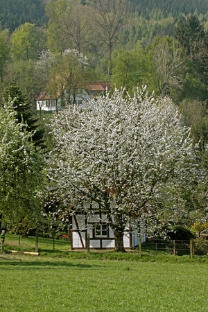 broadleaved tree: Half-timbered house with cherry tree in Hagen a.T.W., Osnabruecker country, Lower Saxony, Germany, Europe Stock Photo
