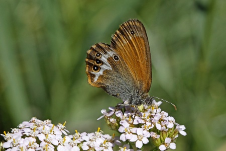 Coenonympha arcania, Pearly Heath butterfly sits on a Common Yarrow (Old mans Pepper) photo