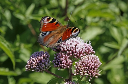 nymphalis: Inachis io, Nymphalis io, a Peacock butterfly sitting on a Hemp-agrimony plant in Germany, Europe