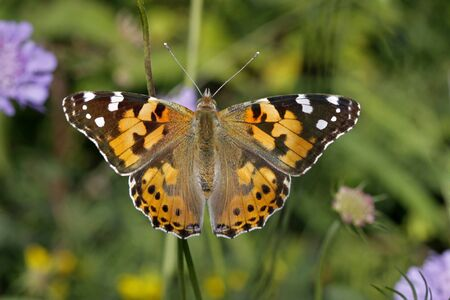 Vanessa cardui, Painted lady butterfly (Cynthia cardui), european butterfly from Italy Stock Photo - 9189315
