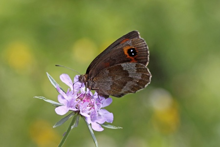 ringlet: Erebia, brown alpine butterfly Ringlet from Italy, Europe