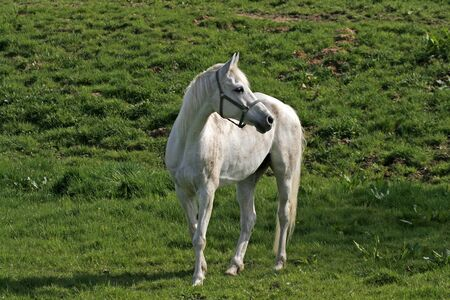 white horse: Arabian horse on a meadow in Lower Saxony, Germany, Europe Stock Photo