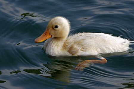 Little domestic duck (Anas platyrhynchos) swimming on the water in Germany, Europe