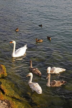 birds lake: Mute swan (Cygnus olor) with young birds, Lake Garda, Italy, Europe Stock Photo