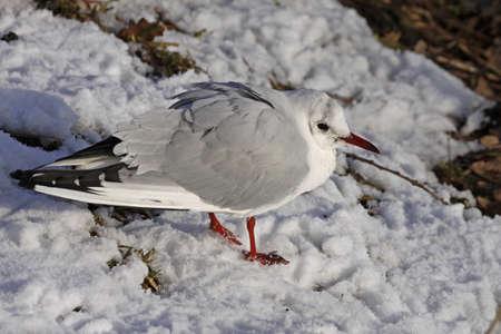 larus ridibundus: Black-headed gull (Larus ridibundus) sits in the snow in Winter, Lower Saxony, Germany, Europe