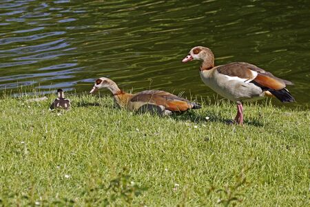 Egyptian Goose (Alopochen aegytiacus) with a young animal at the pond in Germany, Europe photo