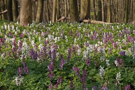 corydalis: Corydalis (fumewort) flowers in Osnabruecker Land, Lower Saxony, Germany