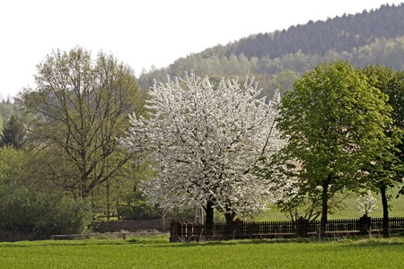broadleaved tree: Cherry blossom in Hagen in the Osnabrück country, in the background of the Teutoburg forests, Lower Saxony, Germany, Europe