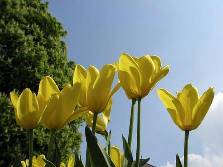 kaiser: Tulipa sort Gelber Kaiser, Fosteriana-Tulip