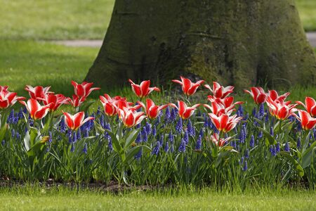 hyacinths: Tulips with hyacinths in spring, Netherlands, Europe