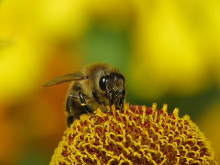 European honey bee, Apis mellifera sitting on Helenium-Hybrid in Germany