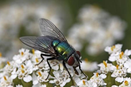 Greenbottle fly, Green bottle fly, Lucilia sericata on Yarrow, Achillea bloom