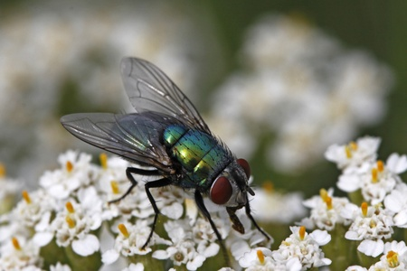 Greenbottle fly, Green bottle fly, Lucilia sericata on Yarrow, Achillea bloom