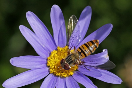 syrphid fly: Episyrphus balteatus, Marmelade hoverfly on Felicia amelloides, Blue Marguerite, Blue daisy - a Syrphid fly from Germany, Europe Stock Photo
