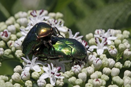 Rose chafer, Cetonia aurata photo