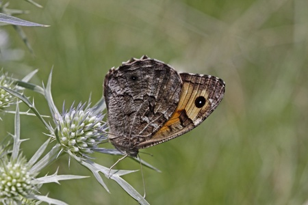 Hipparchia semele, Grayling butterfly in Italy, Europe Banco de Imagens