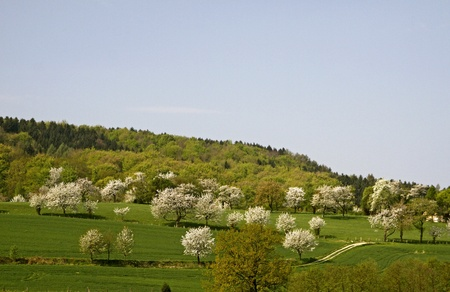 broad leaved tree: Cherry trees in spring, Hagen, Lower Saxony, Germany, Europe