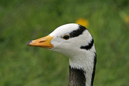 anser: Bar-headed Goose, Anser indicus, also Indian Goose