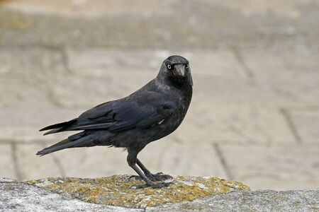 Corvus monedula, Jackdraw Stock Photo - 9227639